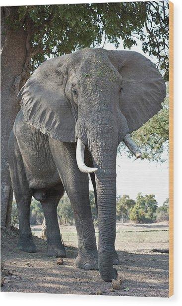 Bull African Elephant Wood Print