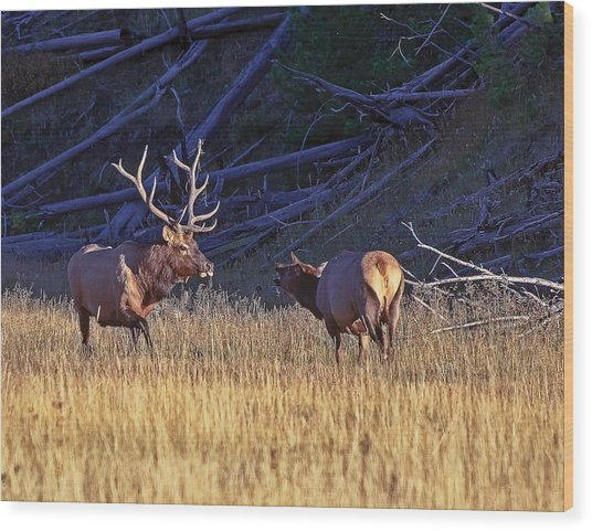 Bull And Cow Elk Wood Print