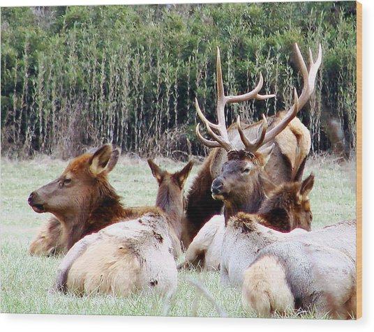 Bull Elk And His Girls 2 Wood Print