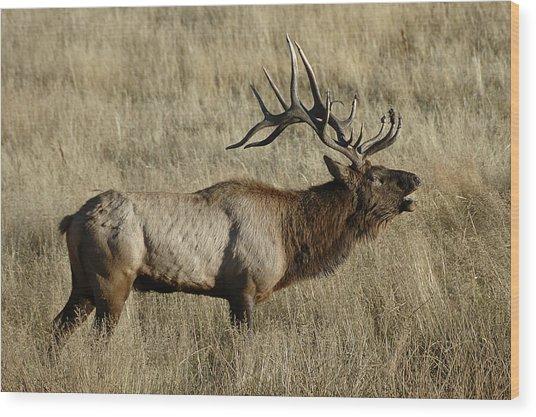 Bull Elk Bugling Wood Print
