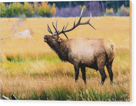 Bull Elk - Colorado Wood Print