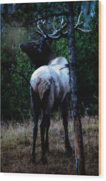 Bull Elk In Moonlight  Wood Print