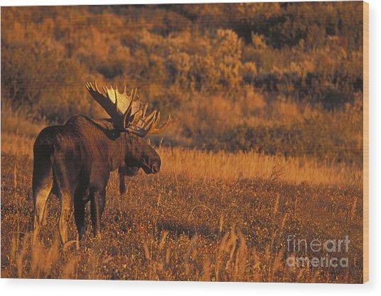 Bull Moose At Sunset Wood Print by Tim Grams
