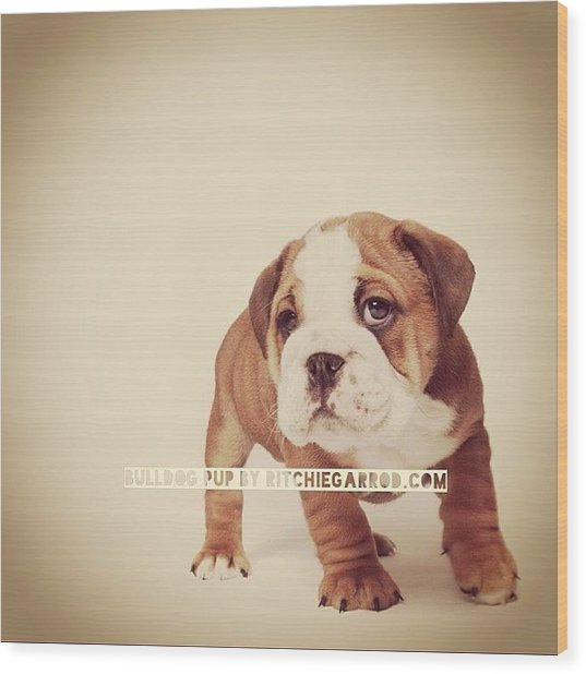 Bulldog Pup Wood Print by Ritchie Garrod