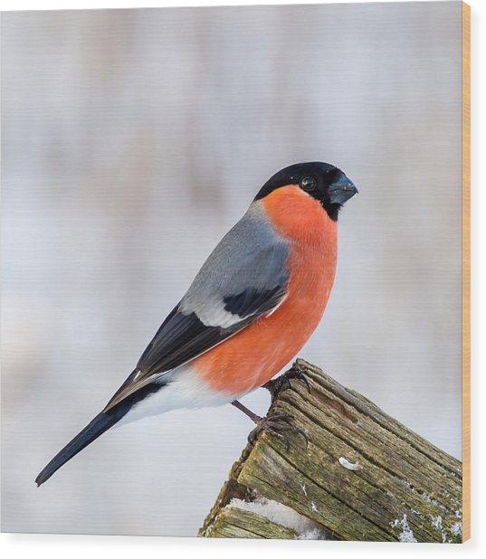 Bullfinch On The Edge Wood Print