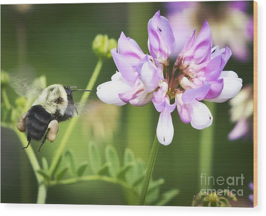 Bumble Bee With Pollen Basket Wood Print by Ricky L Jones