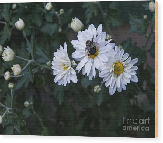 Bumblebee On Daisy Wood Print