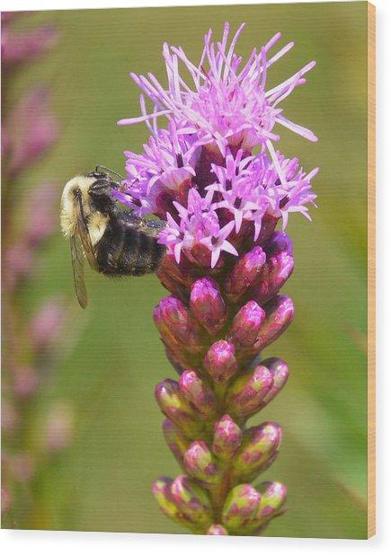 Bumblebee On Dense Blazing Star Wood Print