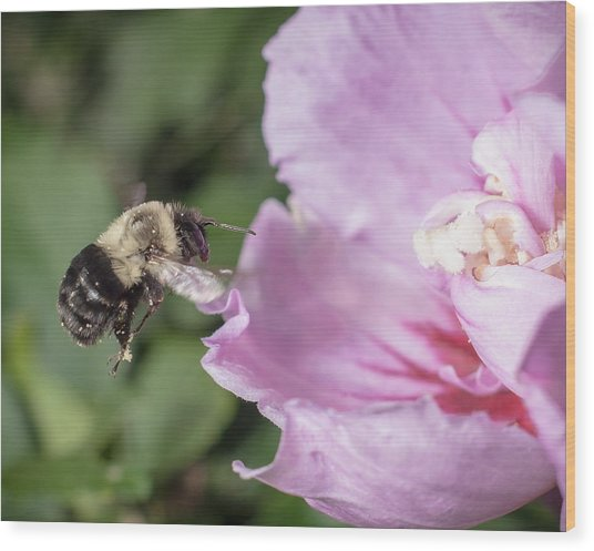 bumblebee to Rose of Sharon Wood Print