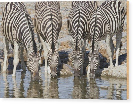 Burchells Zebras Drinking Etosha Np Wood Print