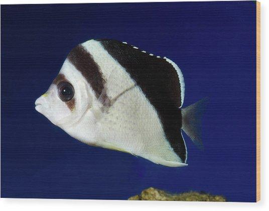Burgess' Butterflyfish Wood Print by Nigel Downer