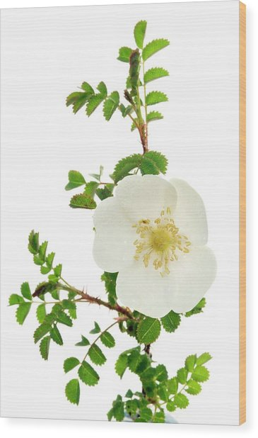 Burnet Rose (rosa Pimpinellifolia) Wood Print by Duncan Shaw/science Photo Library