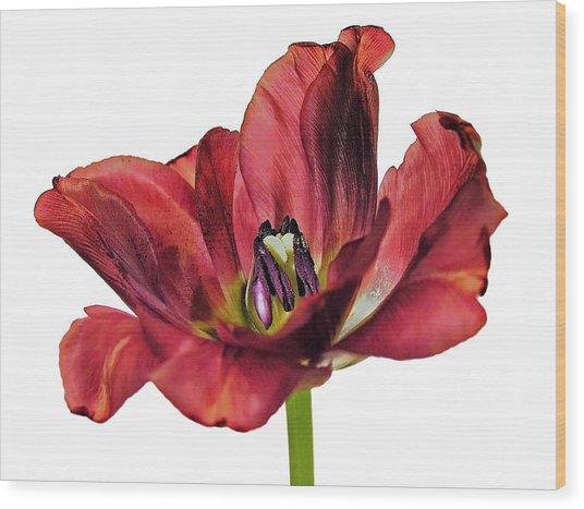 Burning Tulip Wood Print