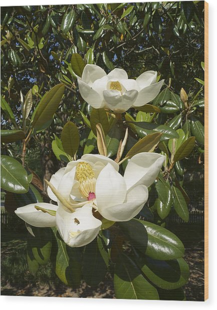 Busy Bee In A Magnolia Blossom 2 Wood Print