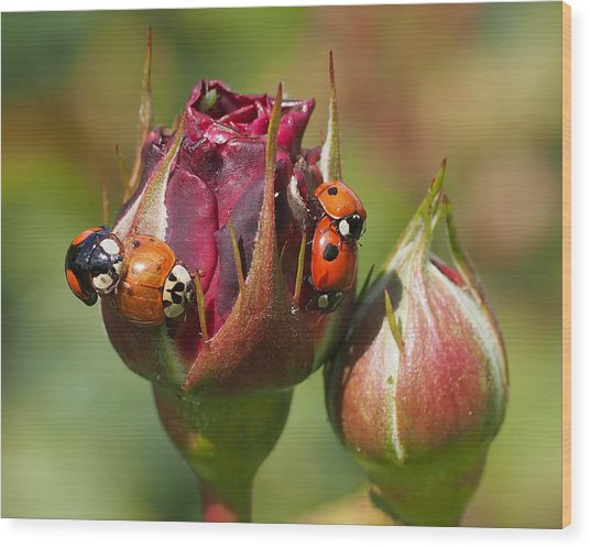 Busy Ladybugs Wood Print