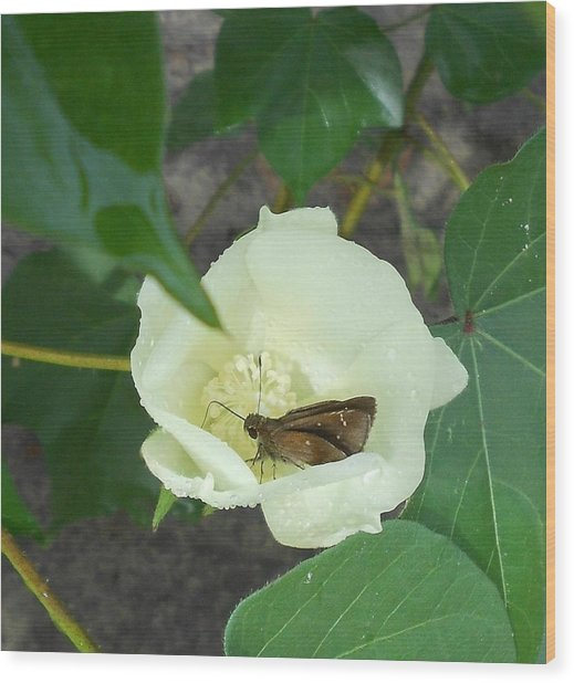 Buttercup #3- Blooming Cotton Series - 8/5/2012 Wood Print by Dianna Jackson