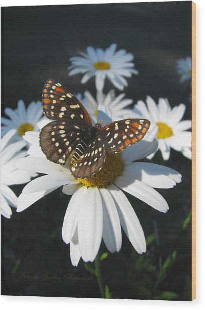 Butterfly And Shasta Daisy - Nature Photography Wood Print