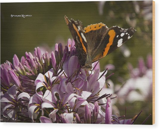 Wood Print featuring the photograph Butterfly Close Up by Stwayne Keubrick