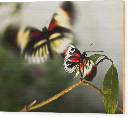 Butterfly In Flight Wood Print