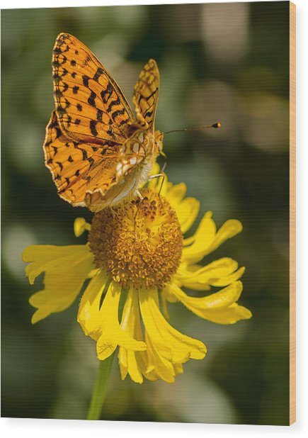 Butterfly On Daisy Wood Print