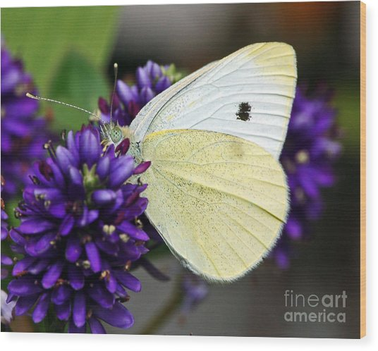 Butterfly On Hebe Wood Print