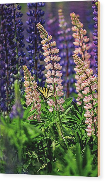 Butterfly On Lupine Wood Print