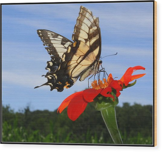 Butterfly On Red Daisy Wood Print