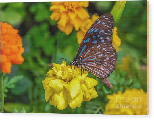 Butterfly On Yellow Marigold Wood Print