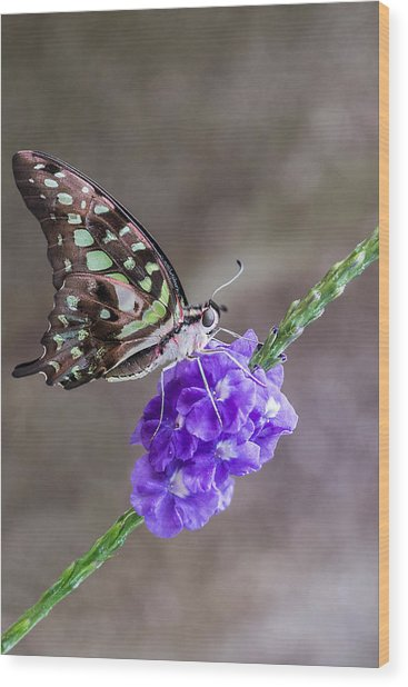 Butterfly - Tailed Jay I Wood Print