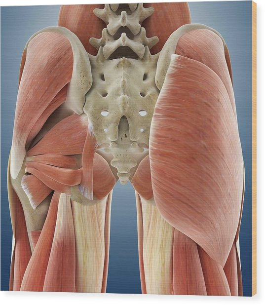 Buttock Muscles Wood Print by Springer Medizin