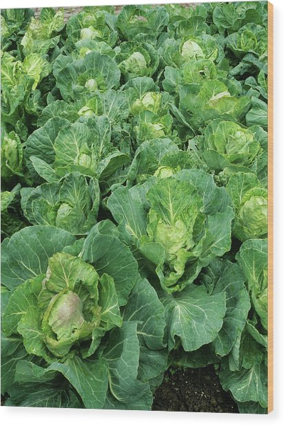 Cabbage (brassica 'golden Acre Primo II') Wood Print by Geoff Kidd/science Photo Library