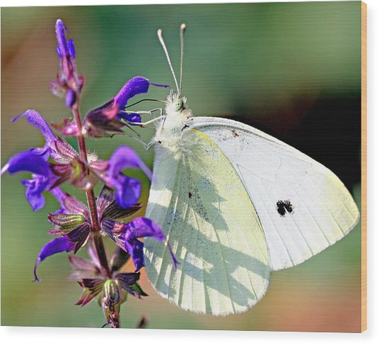 Cabbage White Butterfly Wood Print by Brian Magnier