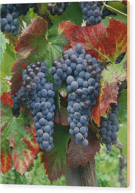 5b6374-cabernet Sauvignon Grapes At Harvest Wood Print