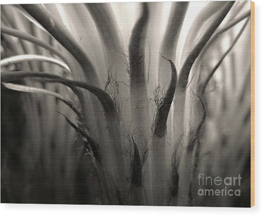 Cactus Bloom In Sepia Wood Print