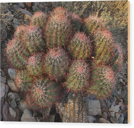 Cactus Burst Wood Print