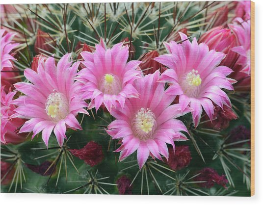 Cactus Mammillaria Zeilmanniana 'new Dawn' Wood Print by Nigel Downer/science Photo Library