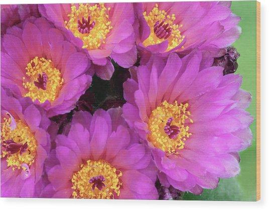 Cactus Notocactus Uebelmannianus Wood Print by Nigel Downer/science Photo Library