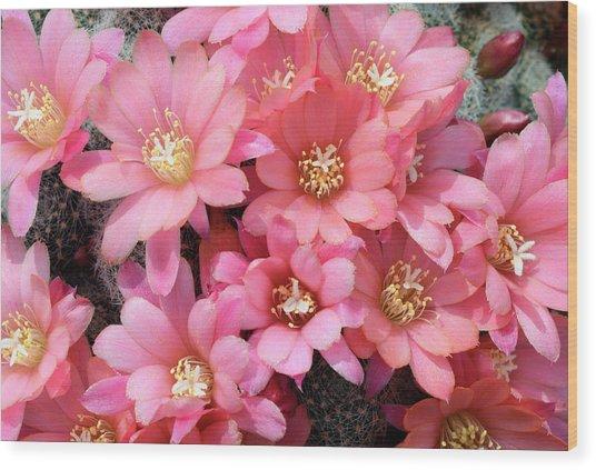 Cactus Rebutia Albiflora Wood Print by Nigel Downer/science Photo Library