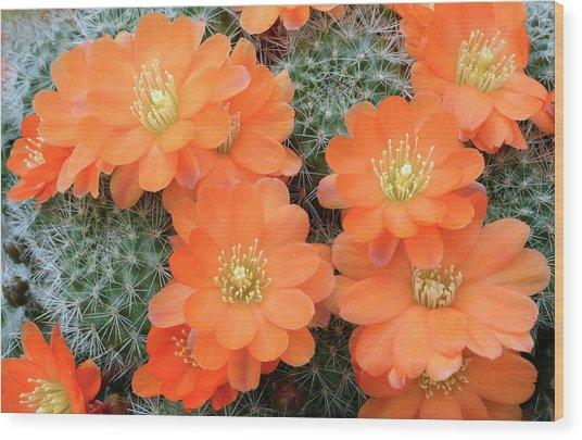Cactus Rebutia Tamboensis Wood Print by Nigel Downer/science Photo Library