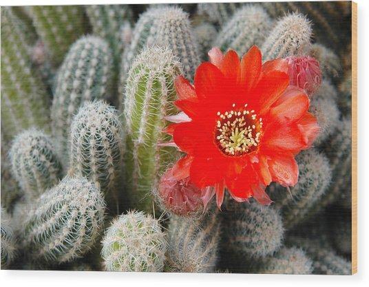 Cactus With Orange Flower.  Wood Print