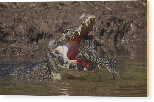 Caiman Vs Catfish 1 Wood Print