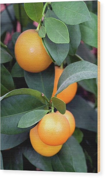 Calamondin (citrus Madurensis) Wood Print by Brian Gadsby/science Photo Library