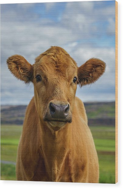 Calf Looking At The Camera, Iceland Wood Print by Arctic-images