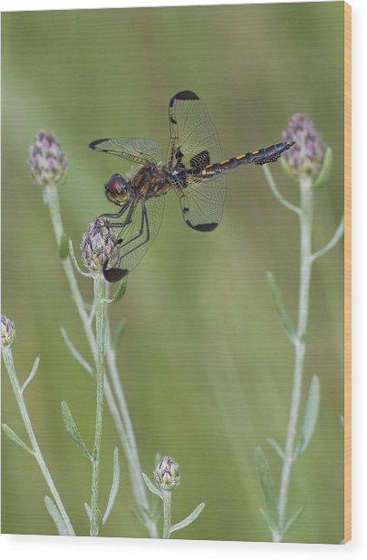 Calico Pennant On Centaurea Wood Print