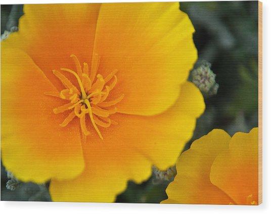 California Poppy In Spring Wood Print