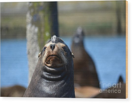 California Sea Lion Wood Print