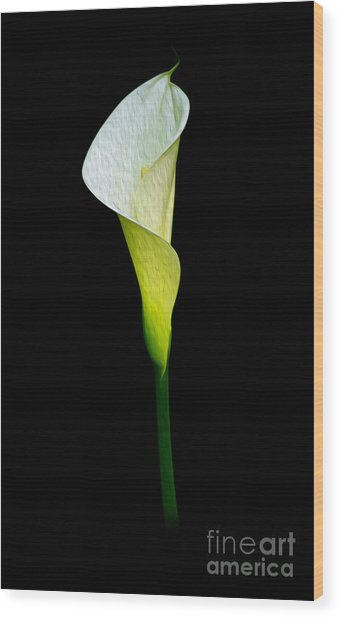 Calla Lily II Wood Print