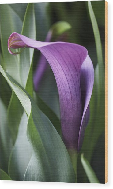 Calla Lily In Purple Ombre Wood Print