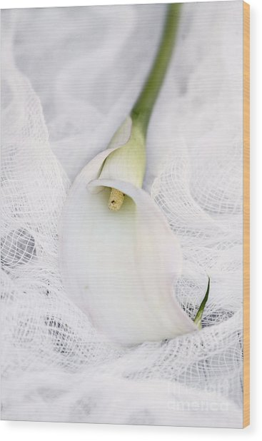 Calla Lily On White Background Wood Print
