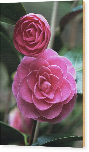 Camellia Flowers Wood Print by Adrian Thomas/science Photo Library
